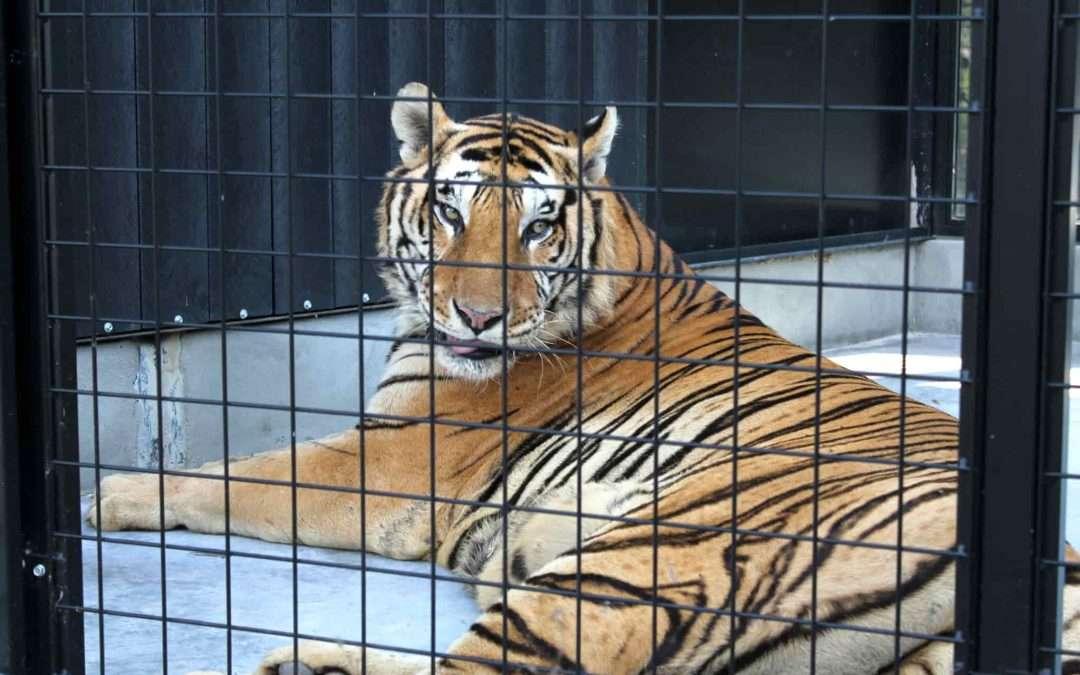 """Tigre """"Mundo"""", 13 años. Circo Wonderland"""