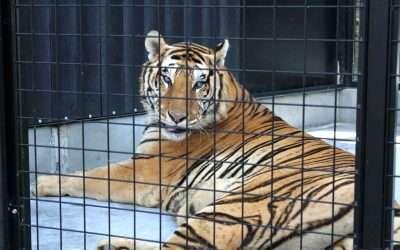 EL CIRCO WONDERLAND HACE HISTORIA, entrega 7 Tigres y 1 León